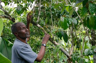 A farmer examines which coffee fruits are ready to be picked.