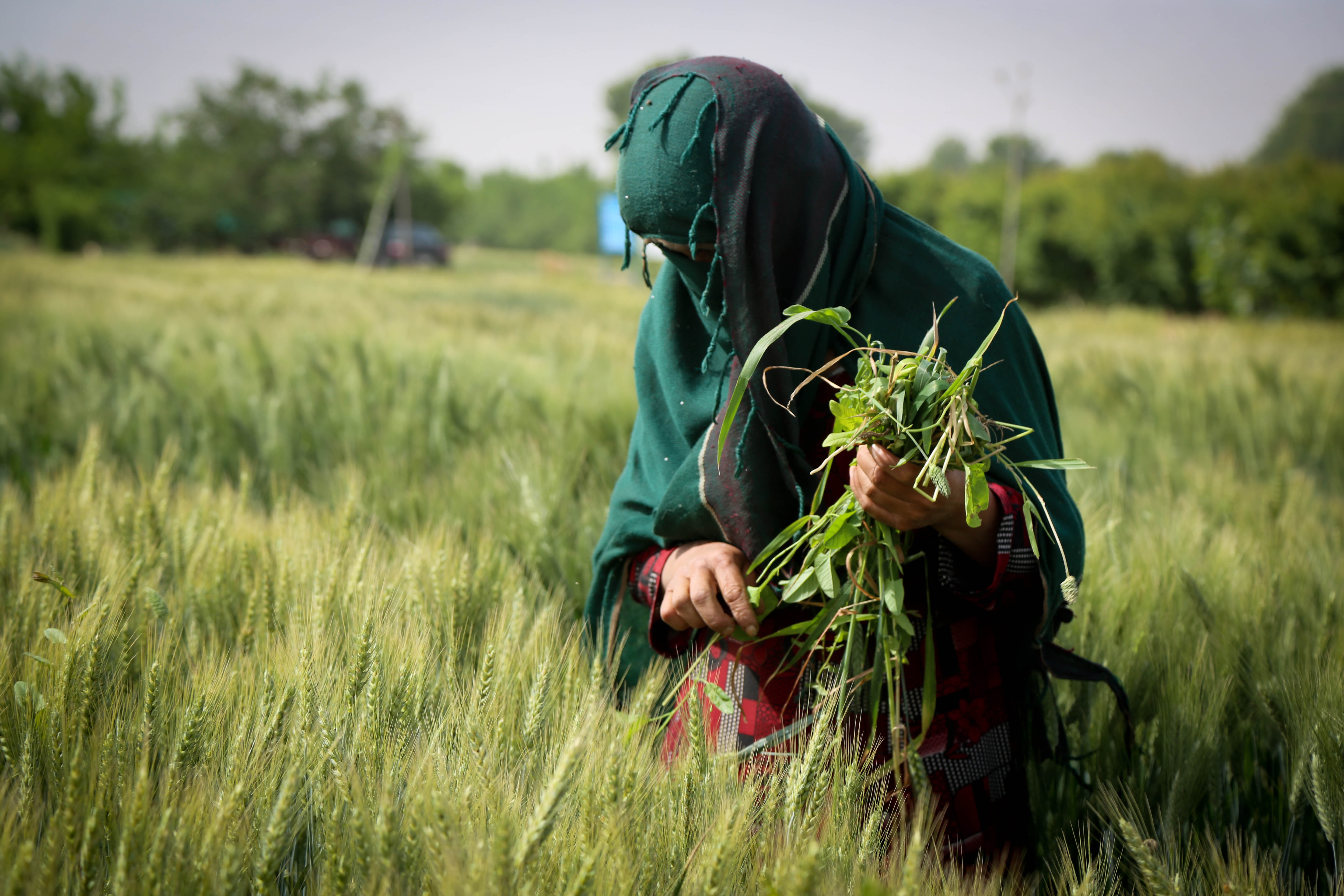 Feroza, 35, working on a farm in Afghanistan
